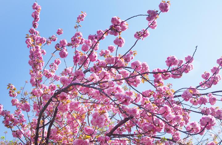 千鳥ヶ淵の桜情報