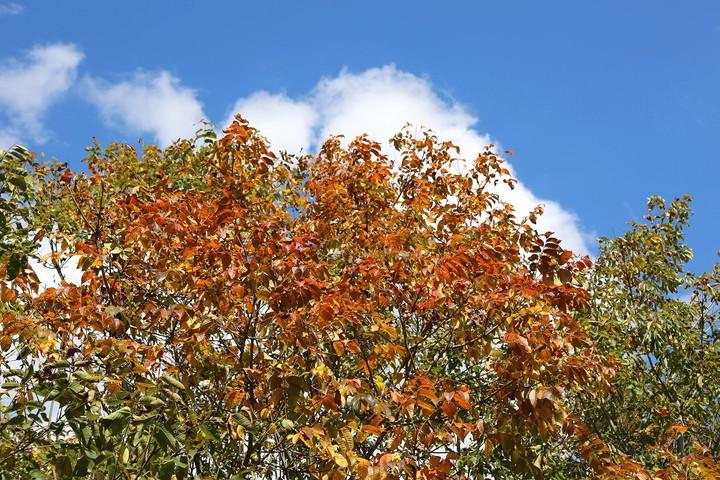 秋のウルシ林