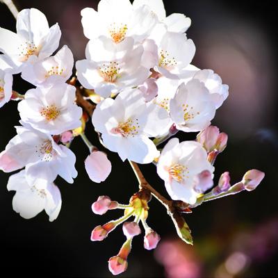 桜の下を歩く(動画)