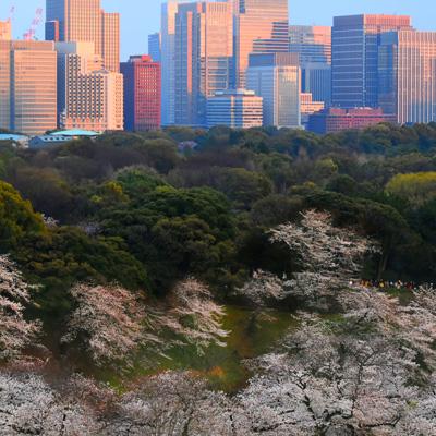 夕日に染まるビル群と桜